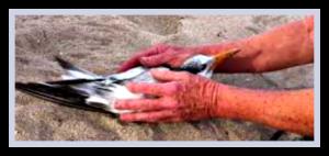 royal tern hooked