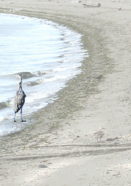 Great Blue Heron on beach  no poem cropped for bus cards