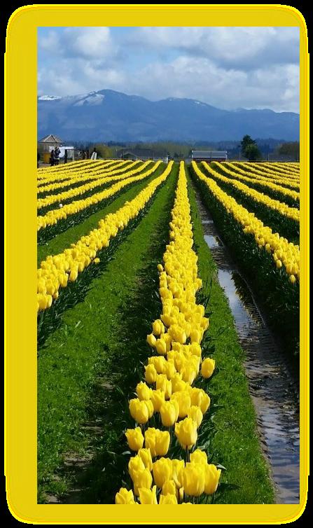 Skagit Valley Tulips Washington State  USA