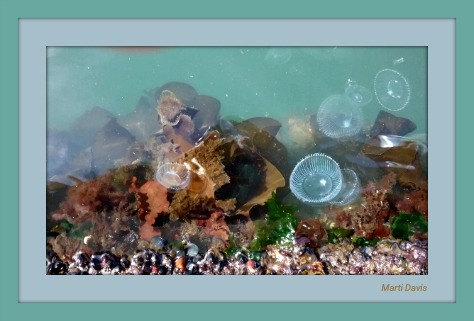 Puget Sound Jellyfish