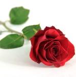 FlowersAndSympathy_SingleStem_SingleRedRose-510x515