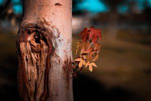 close-up-of-maple-tree-1549166 (1)