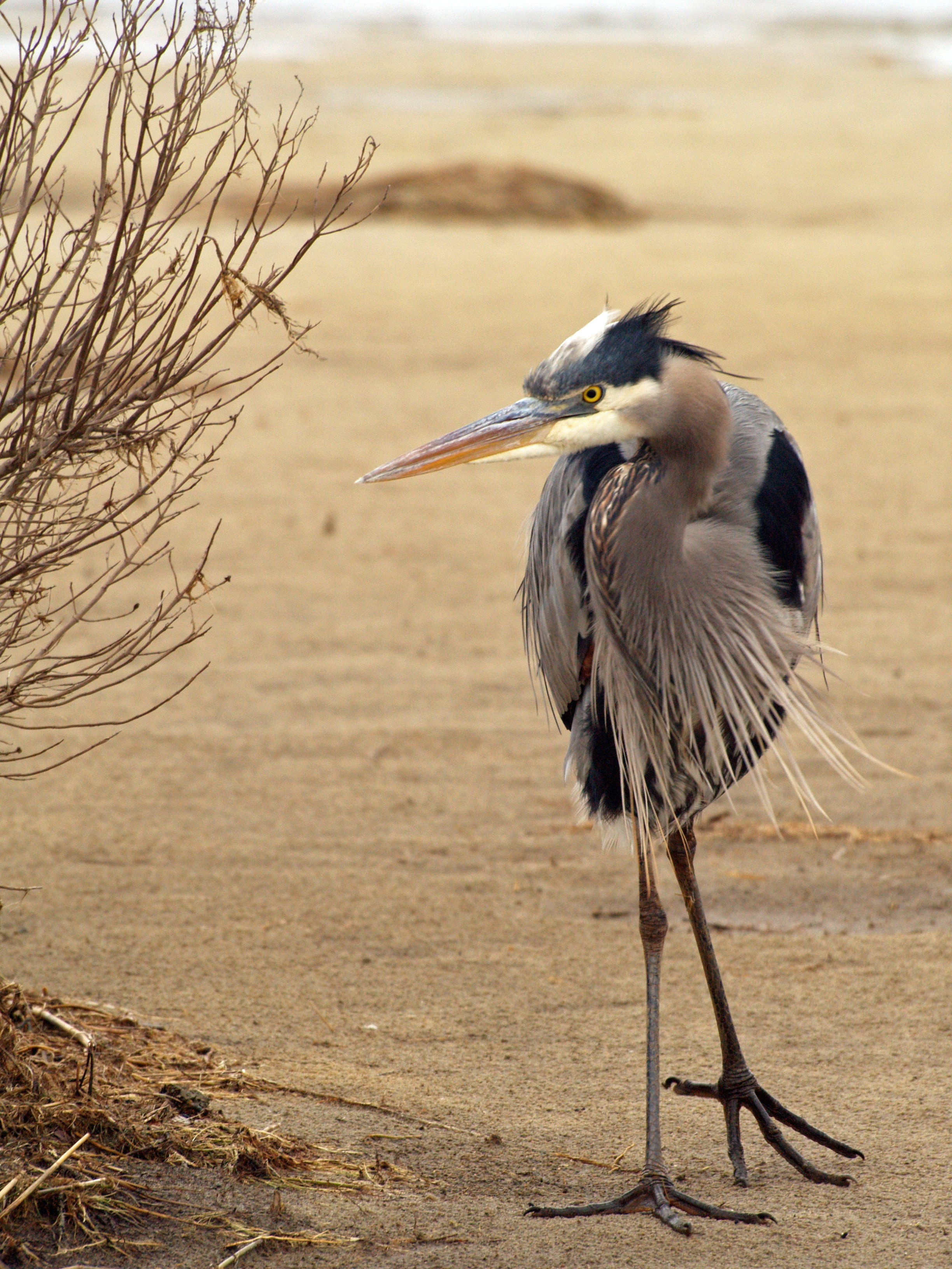bird-blue-heron-shore-birds-animals-37992