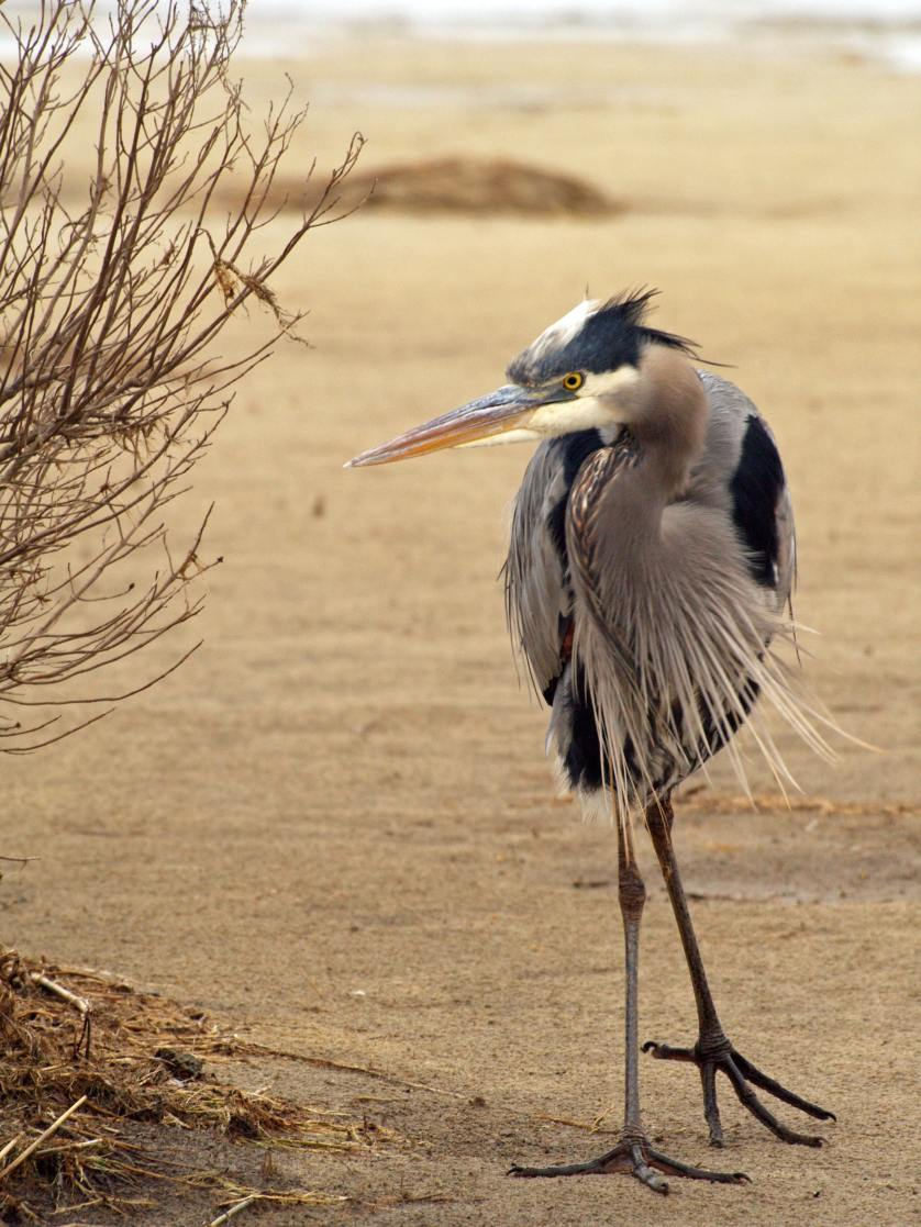 bird-blue-heron-shore-birds-animals-37992